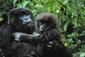 Gli-uomini-fanno-la-guerra-i-gorilla-fanno-l-amore-e-baby-boom-in-congo