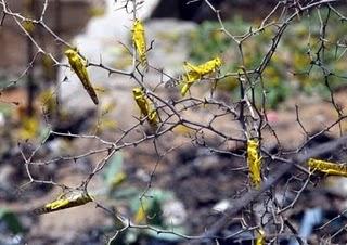 UN warns of locust plague risk in Madagascar
