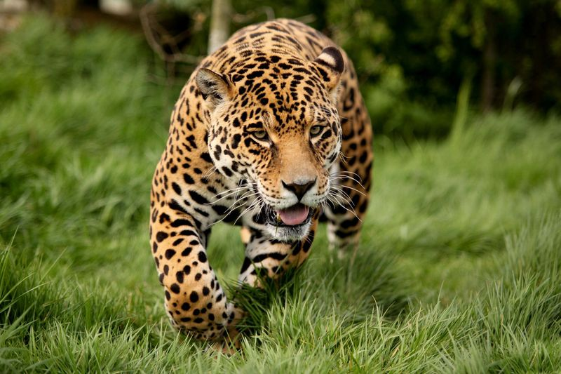 422540_xishhnik_leopard_polyana_trava_2048x1365_(www_GdeFon_ru)