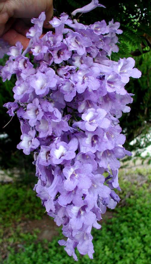 Jacaranda_mimosifolia_-_Flower_Cluster_-_Rancho_San_Diego_CA_8-13-02__012